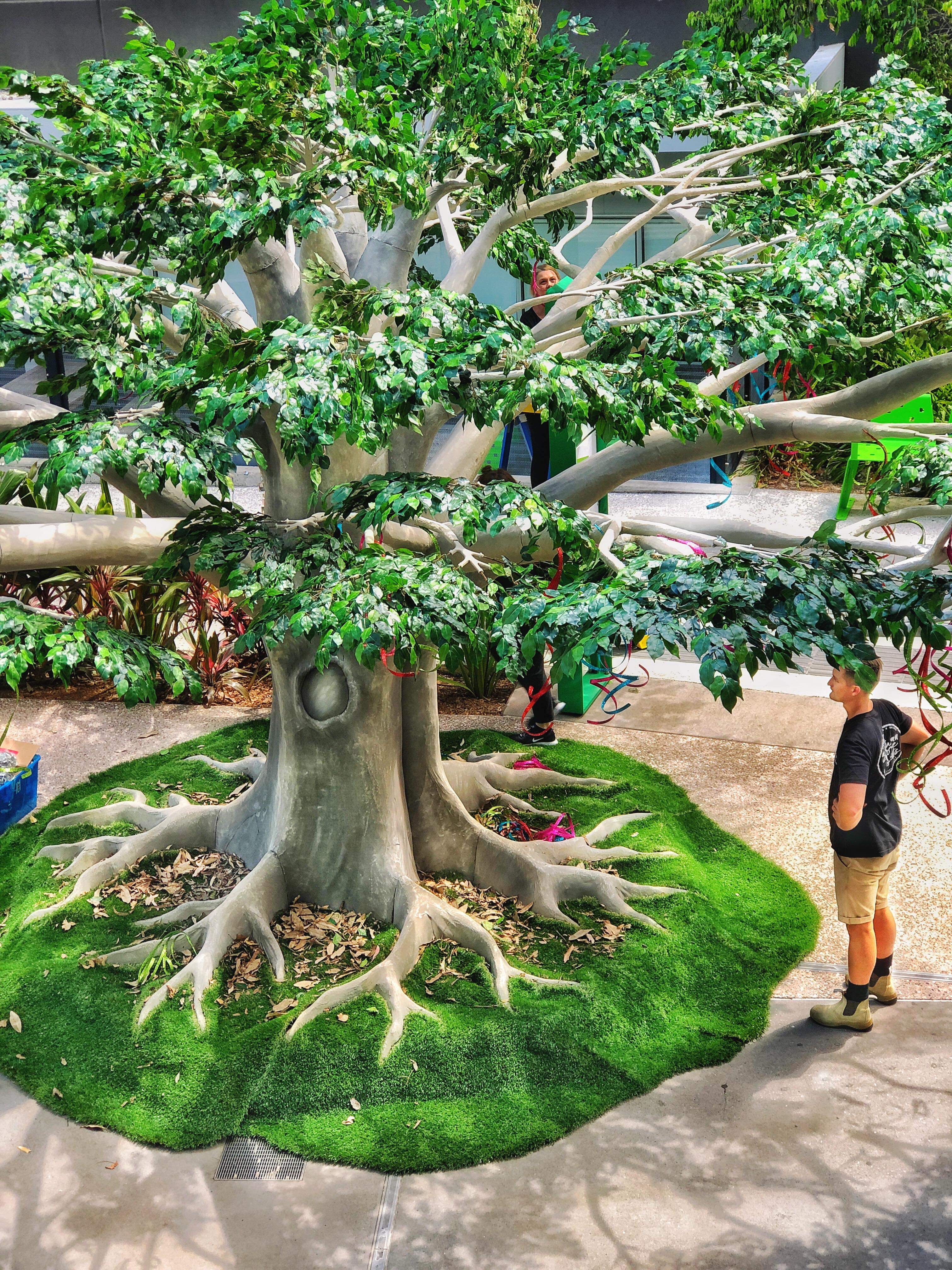 4 5m Moreton Bay Fig Autumn Grove Events